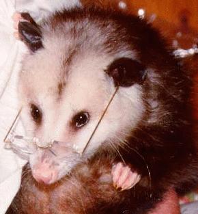 Opossum Diet
